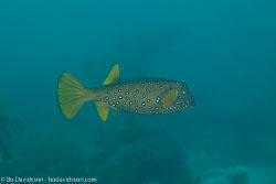 BD-120423-Fury-Shoal-6273-Ostracion-cubicus.-Linnaeus.-1758-[Yellow-boxfish].jpg
